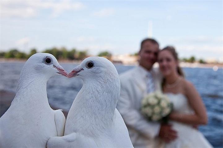 пара белых голубей картинка